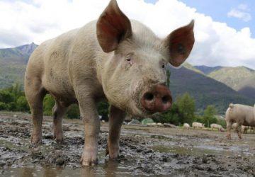 pigs-360x250.jpeg