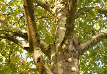 tree-plane-tree-platanos-360x250.jpg